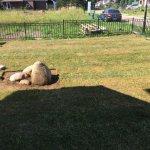 Укладка рулонного газона фото 5